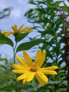 光景 太陽の花 ヘリアンサス
