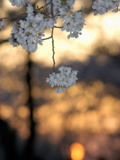 光景 太陽と桜