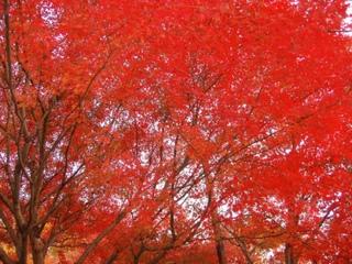 光景 楓 紅葉2