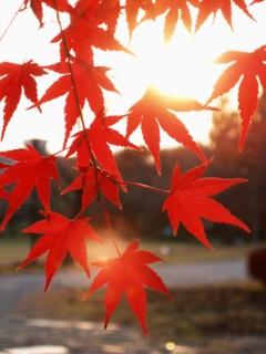 光景 楓 紅葉3