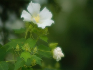 芙蓉 ハスの花の古名