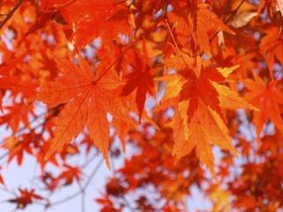 植物・花 光景 紅葉