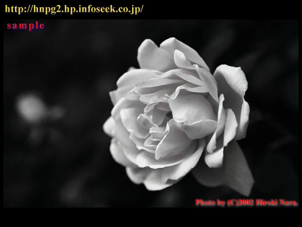 Rose0206_1024_sample